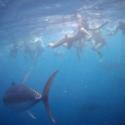 Tuna Tour, spartelen in een school tonijnen